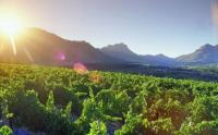 Blaauwklippen Wine Estate vineyards, near Stellenbosch in the Western Cape (Photo: Stellenbosch Wine Routes / MediaClubSouthAfrica.com)
