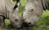 Thandi, who survived an attack by poachers in March 2012, nuzzles a calf born on Kariega game reserve in the Eastern Cape (Image: Kariega Game Reserve)