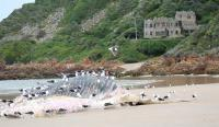 A humpback whale washed up on the beach near Noetzie recently. (Photo courtesy of www.LoveKnysna.com.)