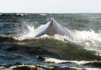 A travelling humpback whale.