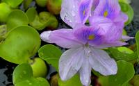 Water hyacinth is pretty, but it\'s also an invasive weed that chokes up water sources and reduces water supply. (Image: Steve Rapport)