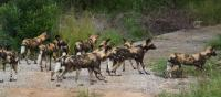 Wild dogs at the Kruger National Park (Image: www.thesouthafrican.com  )