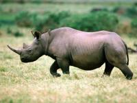 So far this year, more than 730 rhino have been killed for their horns by poachers in the country. Most were killed in the Kruger. Over 1000 were killed last year.(Image www.geoegrherald.com)