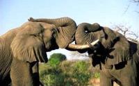 Elephant bulls greeting, Kruger National Park (Photo: Nigel Dennis, South African Tourism)