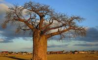 A huge baobab tree in Limpopo's Vhembe district, South Africa (Image: South African Tourism, Flickr)
