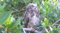 The spotted eagle owl. (Photo: Belinda Hobson)