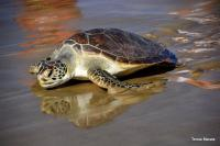 On my way home. One of the happy turtles that was released last Sunday. (Photo: Tersia Marais)