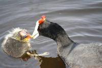 Red-knobbed coots are said to be among the species of water birds dying in the Wilderness Lakes and Langvlei area.