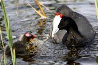 Red-knobbed coots were among the recent avian deaths noticed in the Wilderness Lakes Area. (Photo: Fran Kirsten)
