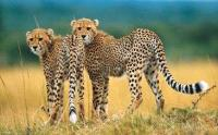 The cheetah: the world's fastest land animal, and South Africa's second-most endangered carnivore after the wild dog. (Image: Philip van den Berg, South African Tourism)