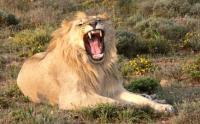 (Image: Male lion (Panthera leo), Eastern Cape, South Africa. Winfried Bruenken (Amrum): Wikimedia Commons)