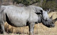 South African rhinos need technology to curb poaching (Image: South African Tourism)