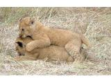 Lion cubs at play. (Image: Free Images)