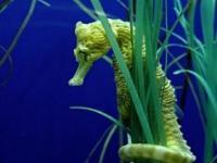 The endangered Knysna Seahorse