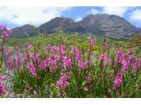 Fynbos in the Western Cape