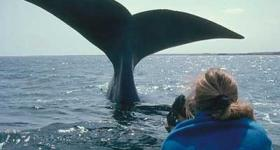 Whale breaching close to boat