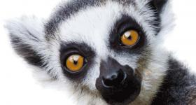 Lemur at Monkeyland Primate Sanctuary Plettenberg Bay