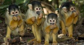 Squirrel monkeys at Monkeyland Primate Sanctuary Plettenberg Bay