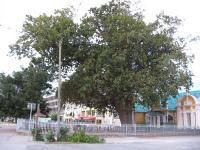 The tree planted by magistrate Van Kervel in 1811