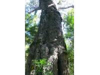 tsitsikamma's big tree,garden route,south africa