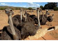 ostrich farm,oudtshoorn ,south africa