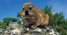 Dassie or Rock Hyrax De Rust Garden Route Western Cape South Africa
