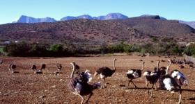 Ostrich Farm De Rust Garden Route South Africa
