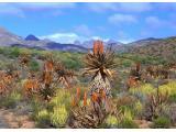Aloe plants De Rust  Garden Route Western Cape South Africa