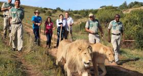 Walking With African Lions at Zorgfontein  Garden Route Western Cape South Africa