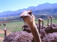 Ostriches Oudtshoorn's mail export