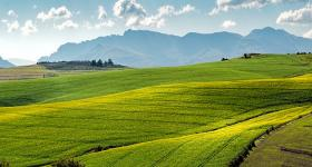 Canola fields near Swellendam