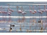 Flamingos at Swartvlei Sedgefield Garden Route South Africa