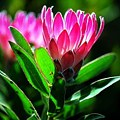 Proteas are a species of fynbos that thrive in the areas surrounding Mossel Bay