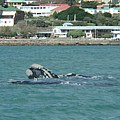 The Southern Right Whale is a regular visitor in the Mossel Bay area