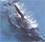 Whales in Plettenberg Bay